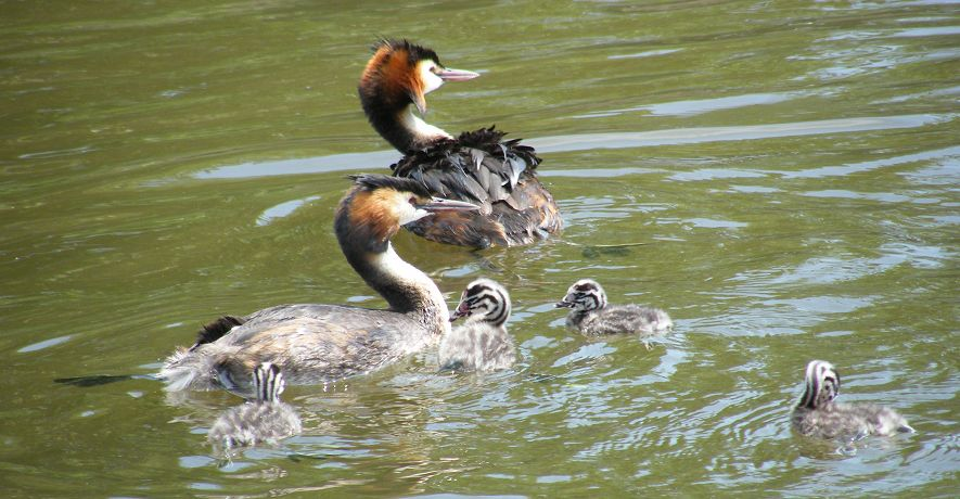Grebe visiting our cottage moorings - there are always plenty of visitors to feed!